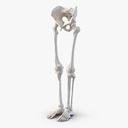 Skeletal Leg 3D models