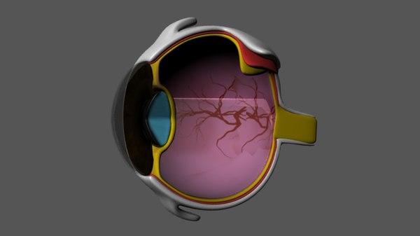 3d eye section model