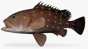 ma star studded grouper