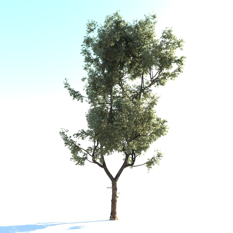 realistic linden lime tree 3d model