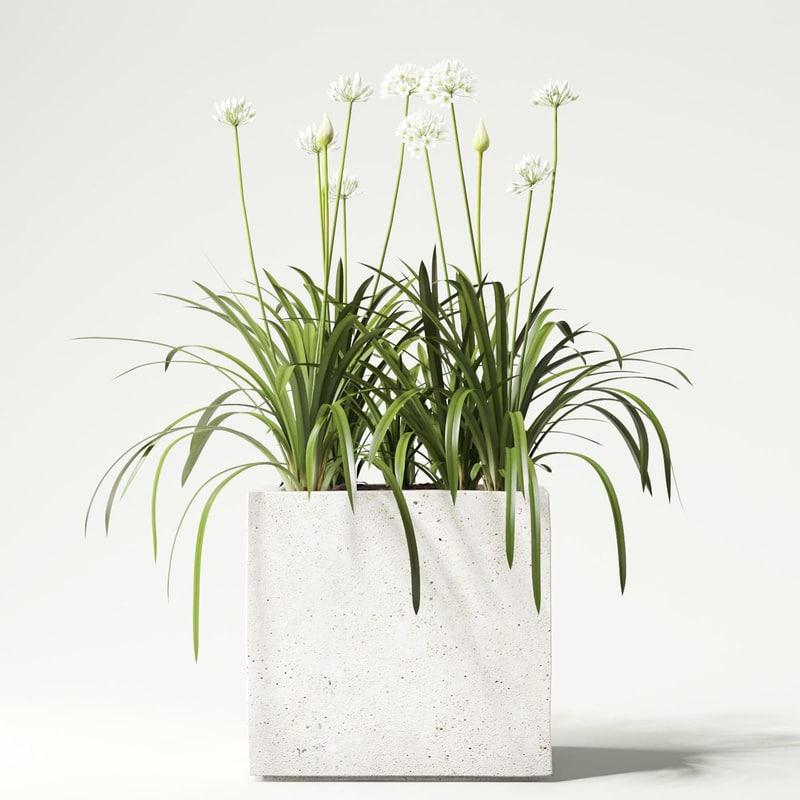 flower agapanthus max