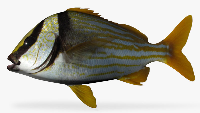 3d model porkfish fish