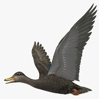 "Anas Rubripes ""American Black Duck"