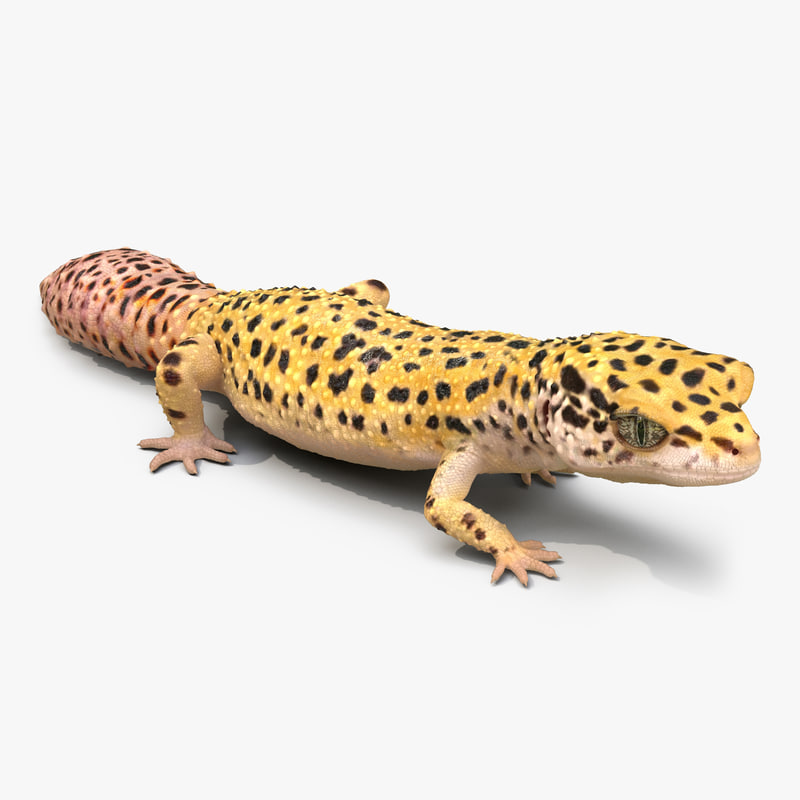 3d leopard gecko pose modeled model