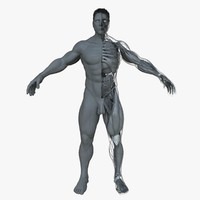 3d ultimate male anatomy project