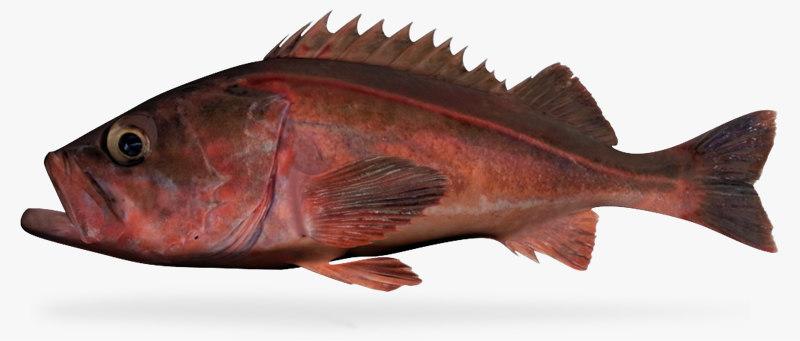 3d model mexican rockfish
