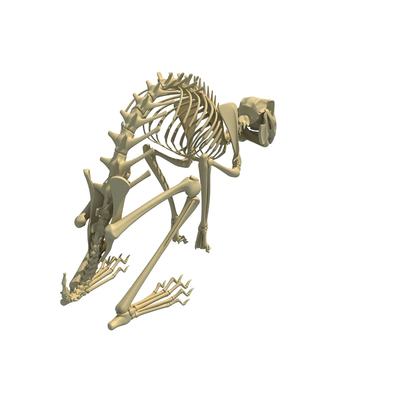 3d Rabbit Skeleton Animal Model