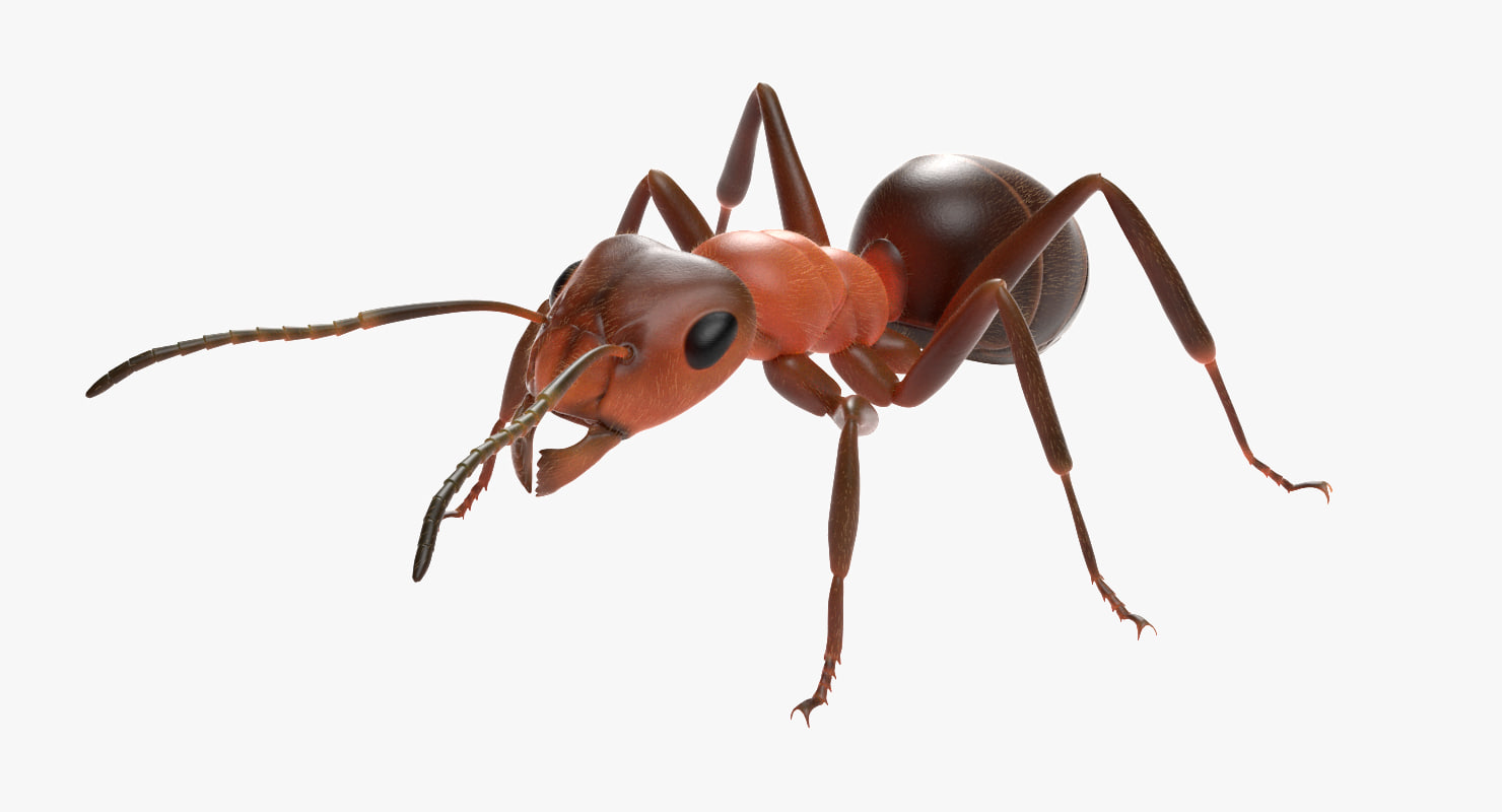 ma ant insect