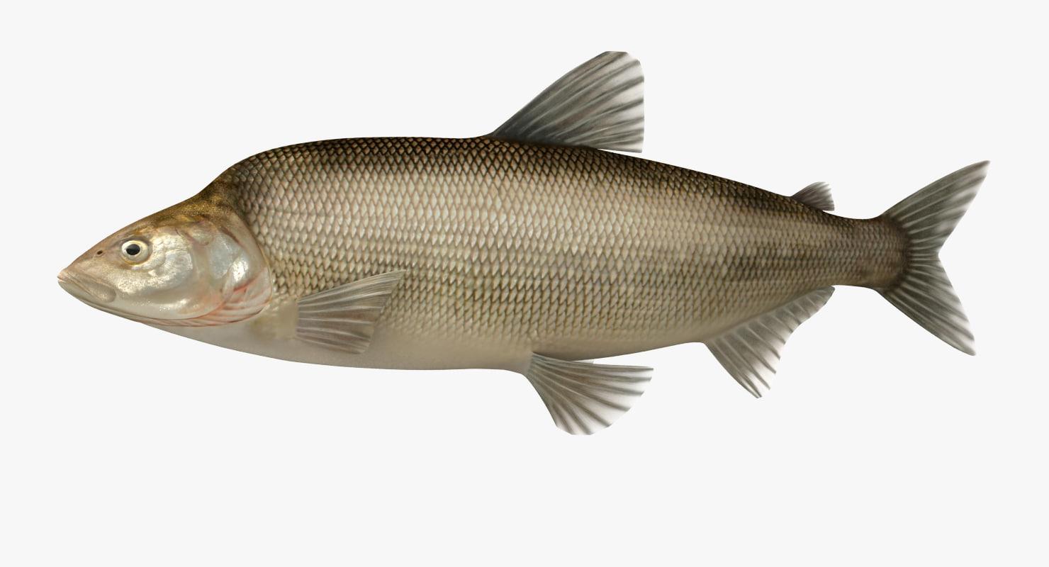 muksun fish animation max