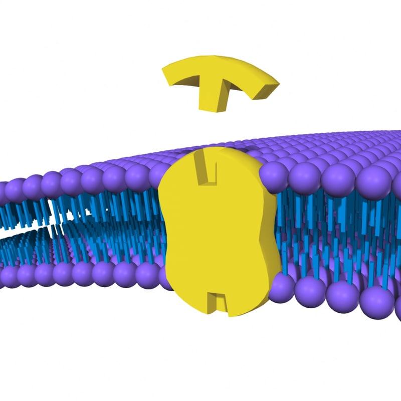 cell membrane 3d model