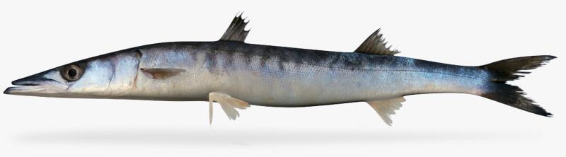3d pelican barracuda model