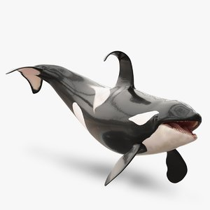rigged adult killer whale max