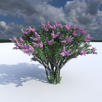 Lilac flowering (3 items)