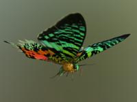 madagascan sunset moth 3d x