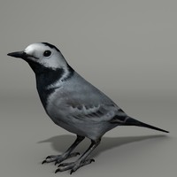 max white wagtail