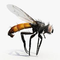 cylindromyia fly tachinidae 3d dxf