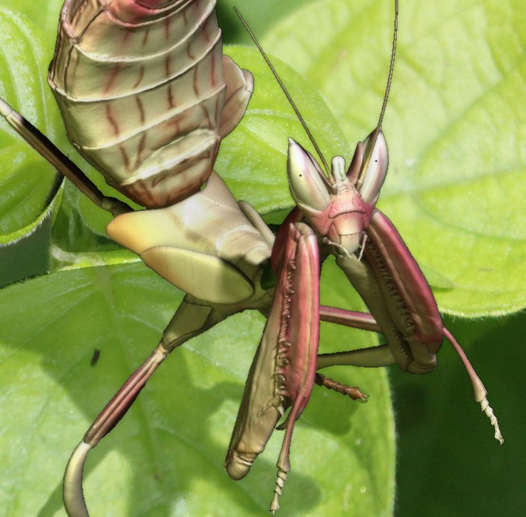 ma orchid mantis nymph