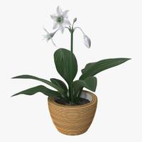 max amazon lily