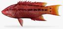 Hogfish 3D models