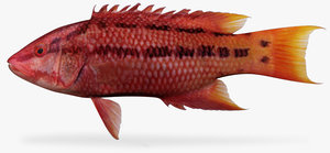 mexican hogfish 3d x