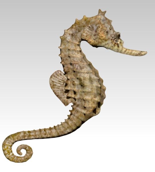 sea horse seahorse 3d obj