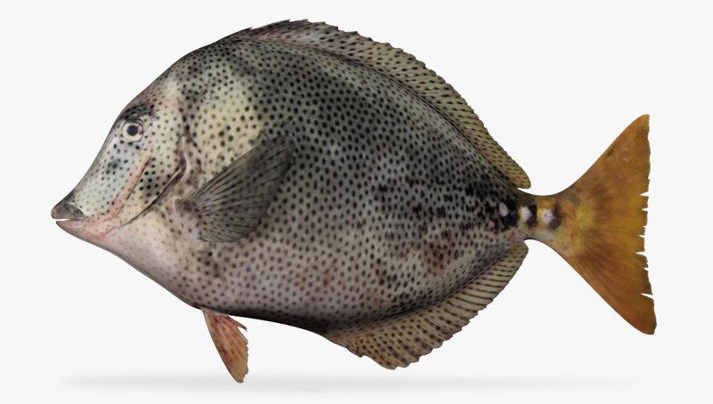 x yellowtail surgeonfish fish