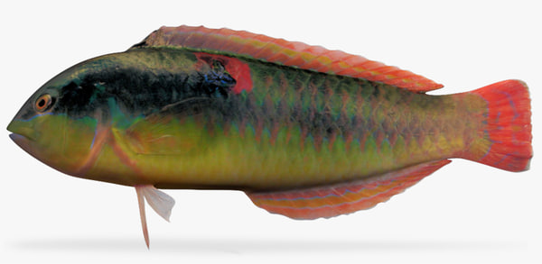wounded wrasse 3d x