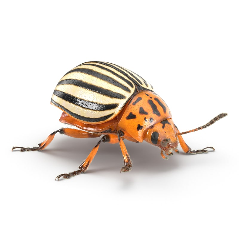 3d model of colorado potato beetle fur