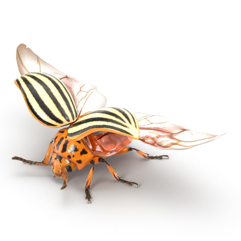 max colorado potato beetle 2