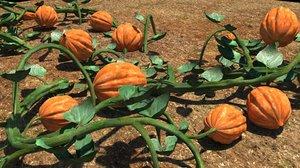 pumpkin plant 3d ma