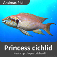 3d princess cichlid model