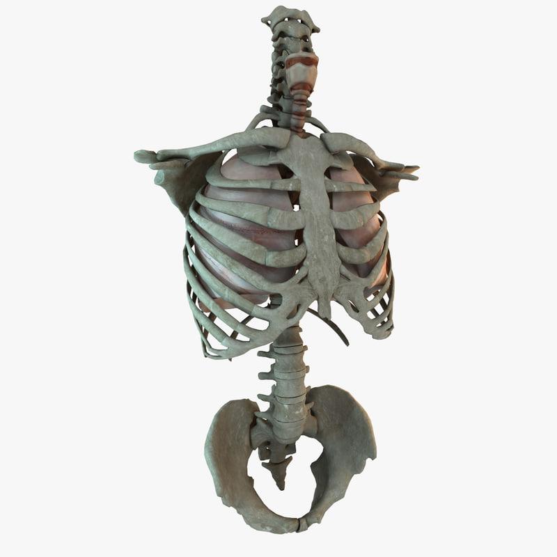3d human lung torso model