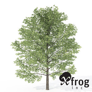 tree birches sweet max