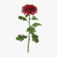 max red chrysanthemum standing -