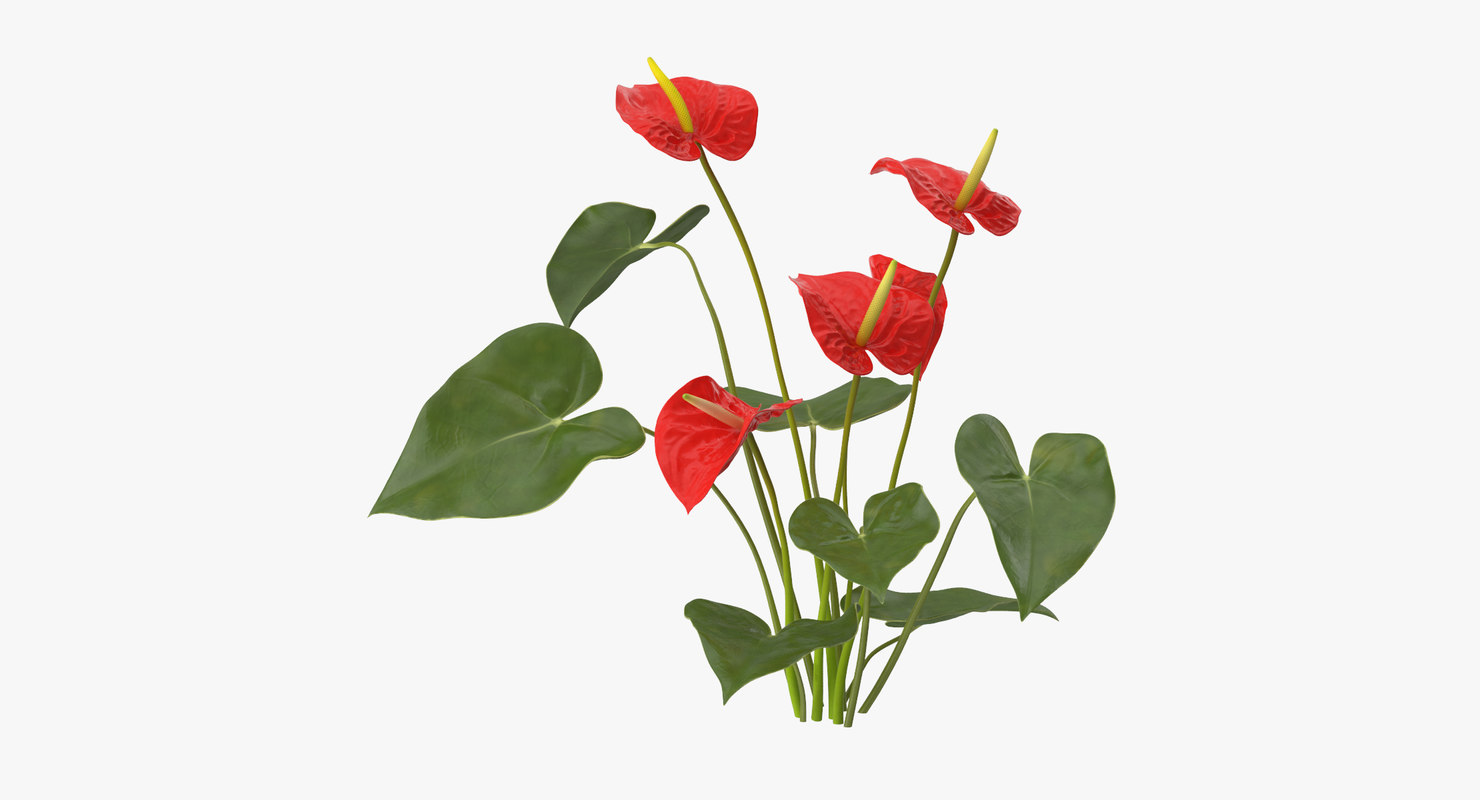 anthurium natural group - x