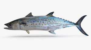 max spanish mackerel