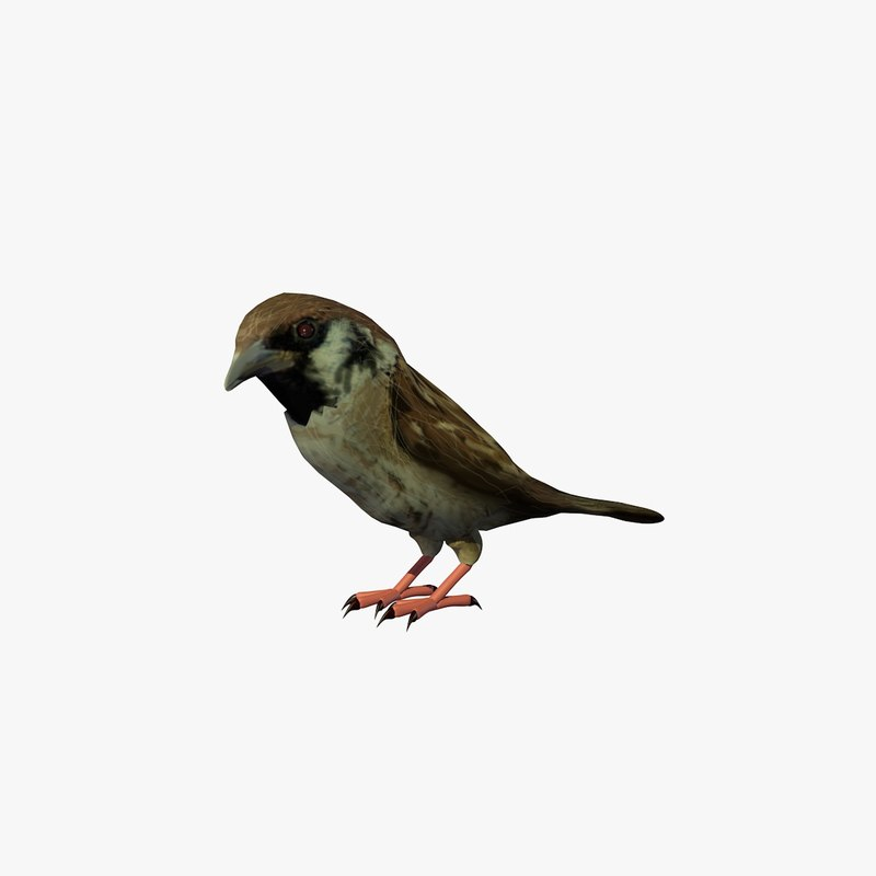 c4d house sparrow walking
