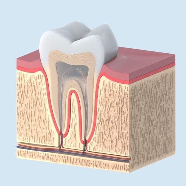 tooth anathomy cross lw