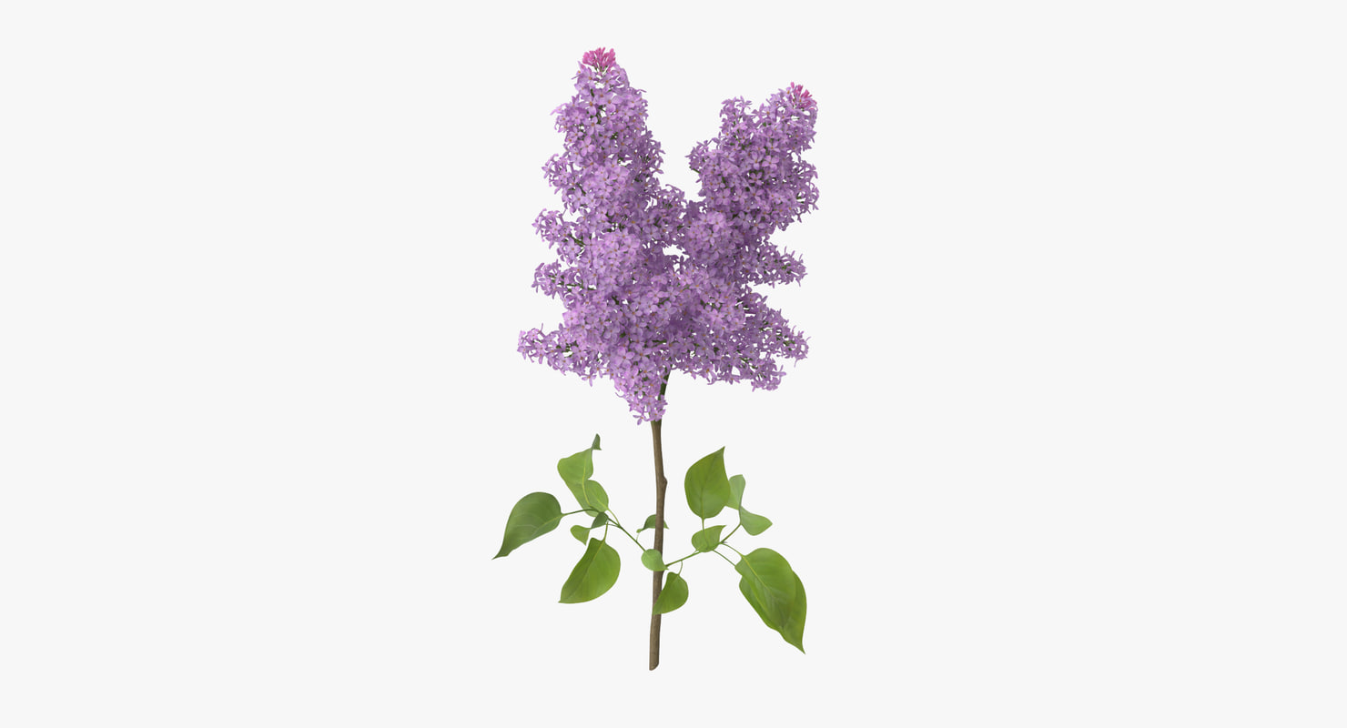 3d model lilac standing -