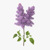 Lilac - Single Standing