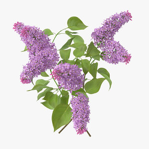 lilac - 3d max