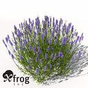 XfrogPlants Lavender