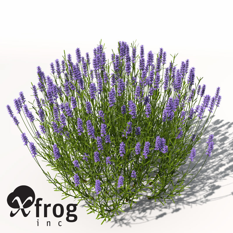 lavender plant flowers 3d model