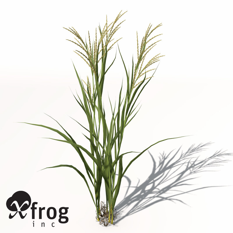 rice oryza ssp 3d model
