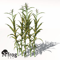corn zea mays 3d model