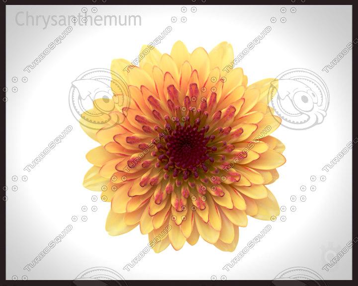 chrysanthemum flower 3d max