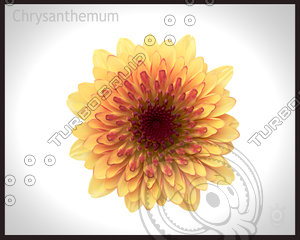 chrysanthemum flower 3d max