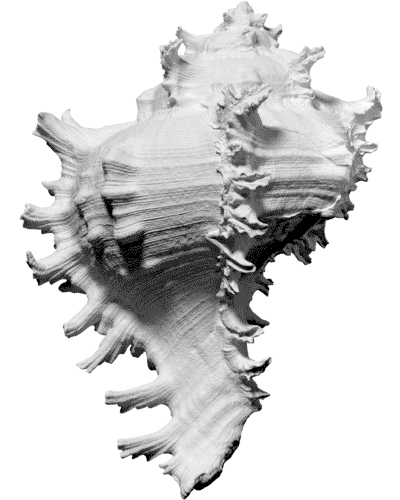 free scan ramose murex sea shell 3d model