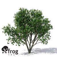 XfrogPlants Persian Ironwood