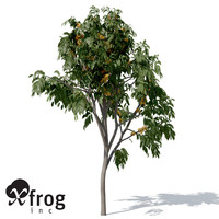 XfrogPlants Ashoka Tree